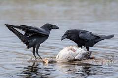 Common Raven (The Wasp Factory) Tags: raven mecklenburgvorpommern corvuscorax commonraven mecklenburgwesternpomerania northernraven kolkrabe mecklenburgischeseenplatte feldbergerseenlandschaft