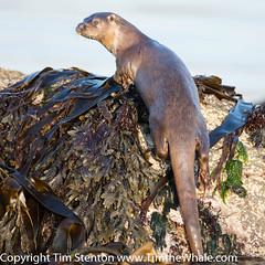 European Otter (Lutra lutra) 09 May-16-4858 (tim stenton www.TimtheWhale.com) Tags: wild mammal islands scotland otter shetland mustelid unst shetlandisles lutralutra commonotter notcaptive lutrinae europeanotter landmammal eurasianotter