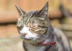 Enjoying the sunshine (Bev Goodwin) Tags: sleeping sun sunshine garden feline chat tabby kitty gato katze resting gatto