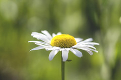 As simple as daisy. . . (Irina1010) Tags: white flower macro nature beautiful canon petals spring bokeh ngc sunny npc daisy