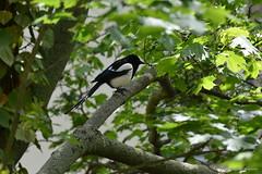Elster (Frank Guschmann) Tags: bird nikon vogel elster d7100 magpipe frankguschmann nikond87100