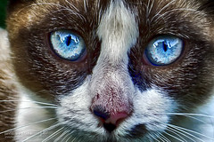 Cat Eyes (Javier A Bedrina) Tags: blue reflection eye art beautiful face animal closeup cat poster amber kitten feline looking tiger pussy hunting decoration kitty mysterious stare concept decor fury catseyes decoracion bedrina felineeyes catdetail