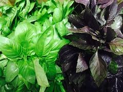Basilic vert & pourpre, Corse