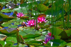 Exploding Pink (Kirt Edblom) Tags: oregongardens oregon silverton silvertonoregon usa waterlilies pond color green pink water yellow plant nymphaeaceae rhizomatous landscape may 2016 spring springtime spring2016 willamettevalley wife gaylene easyhdr hdr nikon nikond7100 kirt kirtedblom edblom outdoor outdoors pnw pacificnorthwest scenic serene ƒ130 nikkor18140mmf3556