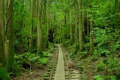 Yakushima #9 (k_t) Tags: green forest cedar yakushima mossy yaku