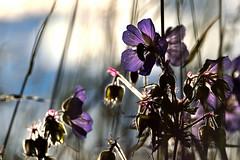 (514) (boomer_phil) Tags: fleurs soleil nikon couleurs extrieur contrejour insectes d500