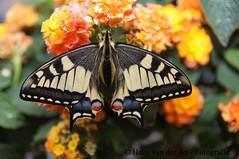 Papilio machaon (hansvdaa) Tags: macro nature animal butterfly insect natuur dieren vlinder autofocus platinumheartaward platinumpeaceaward allnaturesparadise