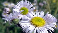 Daisies (gomosh2) Tags: daisies doublefantasy