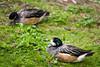 American Wigeon, Regents Park, London (godrick) Tags: uk england bird london regentspark americanwigeon gbr baldpate