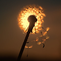 Set us free mom (Tommy Hyland) Tags: light sunset summer sky orange sun sunlight macro nature field closeup season freedom golden flying spring wind outdoor background parts air warmth seed blowing nobody scene structure dandelion seeds falling single flare pollen allergy blowball