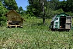 pastured chickens (Megan Fraser) Tags: camphill kimberton 2016
