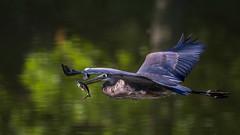 InFlightMeal (jmishefske) Tags: greenfield eating nikon fish milwaukee pond blue lagoon great flight westallis heron wisconsin bullhead july park d7100 2016 bif county