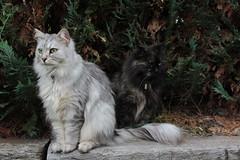 Fussel und Zarah halten Wache (Vasquezz) Tags: katze cat sibirischekatze sibirische sibirisch siberiancat siberian waldkatze forestcat    fussel zarah coth alittlebeauty coth5 sunrays5 bestofcats catmoments kittysuperstar