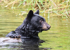 who is watching me (wesleybarr1962) Tags: blackbear bearswimming