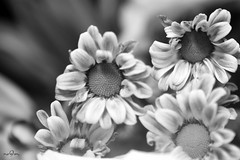 (*NoOoN*) Tags:        canon canon500d flower flowers bw black white wb nature