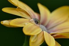 Blume mit Wassertropfen ! (thorstenhelmchen) Tags: waterdrop flower wassertropfen blume macro lumixfz1000