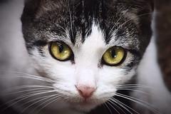 IMG_6416 ok (buguilly1) Tags: cat gatos gato naturaleza minino ojos blanco pet mascotas