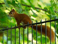Looker-On (Undertable) Tags: oliverbauer undertable assamstadt natur naturfotografie tierfotografie tier tiere eichhrnchen zaun nature animal animals squirrel fence onlooker lookeron