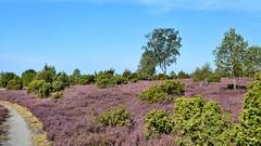 berall Heide / everywhere heathland (r.stopable1) Tags: heide heathland sdheide cellerland wachholderheide juniper niedersachsen lowersaxony fasberg birke birchtree heideblte landschaft landscape