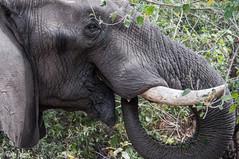 DT-137 (Photography by Brian Lauer) Tags: botswana dumatau africa safari safaris wildlife travel nikonphotography nikon lion elephant hippo fisheagle saddlebilledstork piedkingfisher lilacbreastedroller wilddog