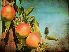going down the tree... (Adrinne - mostly OFF) Tags: apples appeltjes appelboom appletree sidebyside fieldsoflove fruits textured 2lilowls fz150 panasonic addyvanrooij adrinne