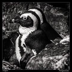 Pinginos (meggiecaminos) Tags: usa eeuu estadosunidos georgia atlanta acuario aquarium georgiaaquarium pinginos penguins pinguini bw bn bianco blanco black negro nero white