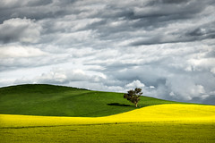 Green vs Yellow (Colin_Bates) Tags: canola field clouds tree young nsw central west