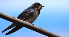 Barn swallow (red.fox.child) Tags: bird barn swallow animal animals vertebrata aves avian cute sky zoom wild wildlife wilderness nature seaside mediterranean life ornitology biology