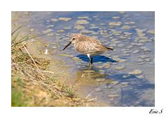 Bcasseau variable (1DSens33) Tags: bird marin calidris alpina vase bec marais parc oiseau calidrisalpina plume ailes bcasseau bcassine ornithologie bcasse vasire limicole