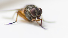 fly (wwwYnand!) Tags: blur macro animal fly nikon nothingbutthebest d7200 wvanpoortvliet