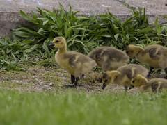 CANADA GOOSE - GOSLINGS (nsxbirder) Tags: ohio oxford gosling canadagoose brantacanadensis huestonwoods