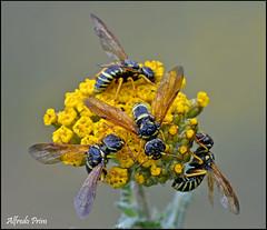 * A party * (alfvet) Tags: flower macro primavera nature ngc natura bugs npc springtime insetti parcodelticino veterinarifotografi