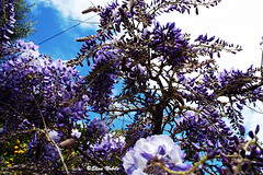 Glicine 1/3 (elisanobile) Tags: barcelona city flowers blue sky flower nature spain violet natura fiori viola barcellona spagna citt lilla
