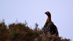 Photo of Red Grouse