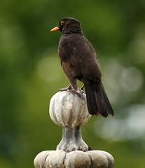 Powis Blackbird (VictoriaAnn:)) Tags: colour gardens spring powis blackbird powiscastle