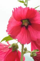 20150529-DS7_1620.jpg (d3_plus) Tags: plant flower macro nature rain japan cycling tokyo spring scenery waterdrop bokeh object daily rainy bloom    tamron  dailyphoto  kawasaki  thesedays tamron90mm pottering            tamronmacro  tamronspaf90mmf28  tamronspaf90mmf28macro11 d700 172e tamronspaf90mmf28macro nikond700 spaf90mmf28macro spaf90mmf28macro11 nikonfxshowcase 172en