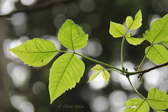 Poison-ivy_BlueCut,NY_DaveSpier_D088555flickr (northeast naturalist) Tags: plant newyork green nature leaves spring woods hiking vine canopy poisonivy itch radicans toxicodendron greatnature