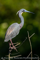 Tricolored Heron in Breeding Colors (Michael Pancier Photography) Tags: birds us unitedstates florida staugustine travelphotography saintaugustine birdphotography alligatorfarm commercialphotography naturephotographer editorialphotography michaelpancier michaelpancierphotography avianphotography landscapephotographer avianphotographer fineartphotographer michaelapancier alligatorfarmzoologicalpark tricoleredheron wwwmichaelpancierphotographycom tricoloredheroninbreedingcolors