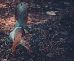 Squirrel (the_istered) Tags: nature animal forest rodent nikon squirrel d5500 nikond5500