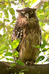 Brown fish Owl (nomane172) Tags: brown fish bird birds nikon outdoor owl dhaka bangladesh tamron70300 d7100
