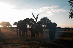 Homeward Bound - Zimbabwe (jcbkk1956) Tags: viagginelmondo contrejoure lensflare evening babyelephant african sunset digital nikon dusk contrejour elephants africa zimbabwe viagginelmundo worldtrekker