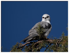 Black-shouldered Kite - 4 May 2016 (Allambie) Tags: canberra act tamron150600mm canon7dmk2