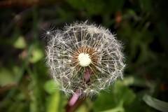 IMG_7924 (kween_beek) Tags: nature wisconsin outdoors weed dandelion wish wildflower wi