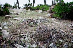 Neoporteria heinrichiana (Umadeave) Tags: chile cactus montagne plante flora chili desert atacama flore eriosyce neoporteria heinrichiana