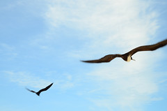 Friggin Frigate (moke076) Tags: sky blur bird nature animal clouds port mexico harbor flying wings movement nikon frigate wingspan frigatebird roo seabird quintana chiquila d7000