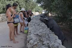 INTERACCI INESPERADA (Menorca, agost de 2015) (perfectdayjosep) Tags: pigs menorca baleares cerdos illesbalears porks puercos porcs minorica perfectdayjosep