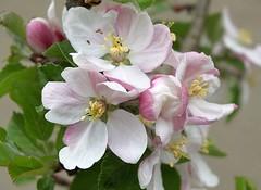Apfelblte (to.wi) Tags: macro blossom makro blte apfel pfel rosengewchs towi