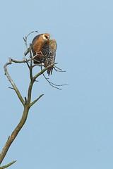 Red-footed Falcon (Ady G.) Tags: canon wildlife dorset birdofprey redfootedfalcon 1d4