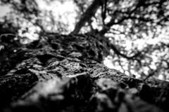 sughera (cj limax) Tags: tree oak bark albero corteccia quercia sughero