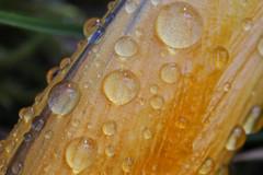 CA4A4153 (janoschg) Tags: flower germany stuttgart blume krokus badenwrttemberg canoneos5dmarkiii canon5dmarkiii stuttgart2016 stuttgartmrz2016